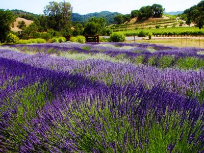 highland springs lavender